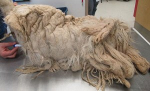 Casey was so severely matted, he could not even walk.