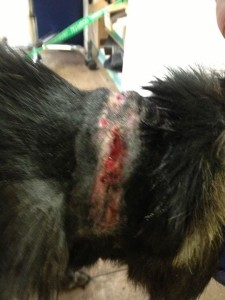 The reality of chains.  This is Samba's neck, after we took his off.